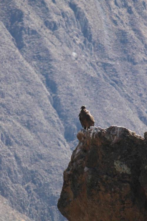 Peruvian Condor