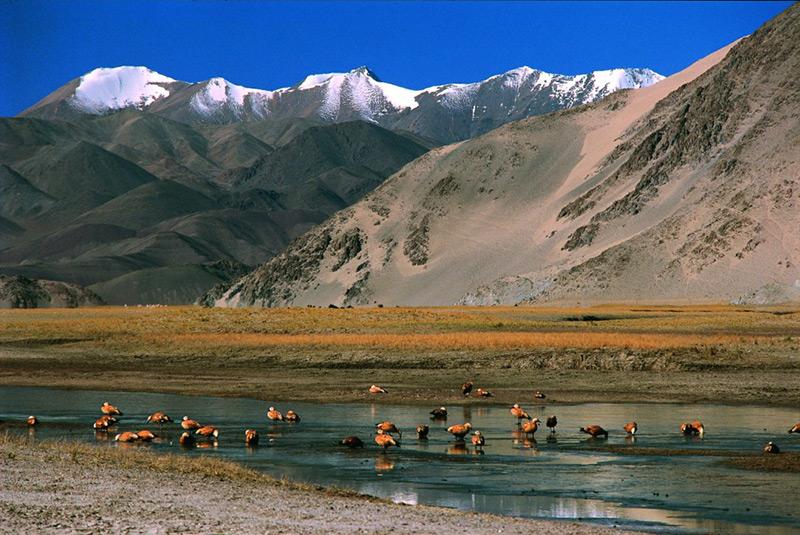 Brahminy Ducks by Nomadic Trek Ladakh, India