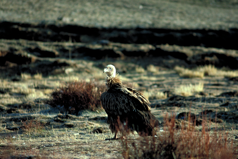 Vulture Drigung Tibet