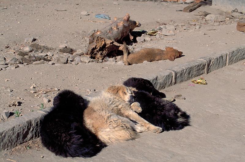 Shigatse Dogs Tibet