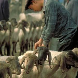 china silk road sheep market