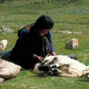 Tibet travel sheep