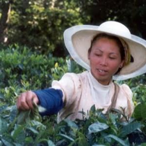tea picker in china