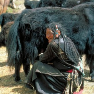 Tibetan woman with cattle