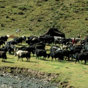 Cattle in Lhasa Tibet