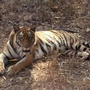 India_BandhavgarhNP_Tiger_Wilson