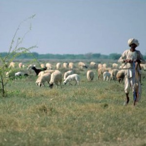 India_Gujarat_Bhuj_SheepHerding