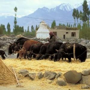 India Yak Harvest