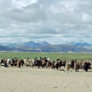 tibet travel yaks
