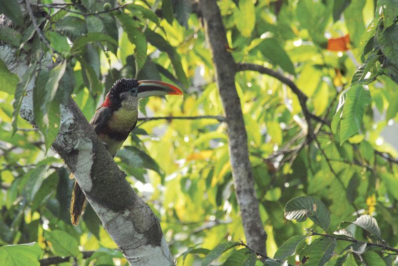 Amazon Toucan - Inkaterra Reserva Amazonica