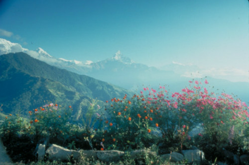 Annapurna Circuit Wildflowers