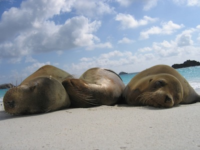 seals on beach in galapagos